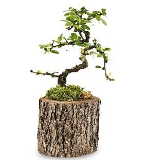 Doğal kütükte S bonsai ağacı  Muş çiçek satışı