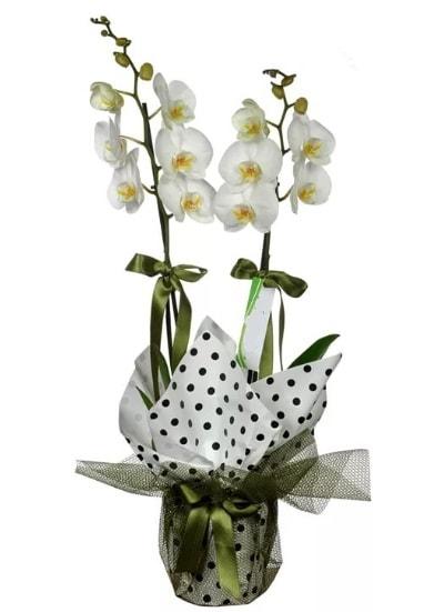 Çift Dallı Beyaz Orkide  Muş 14 şubat sevgililer günü çiçek