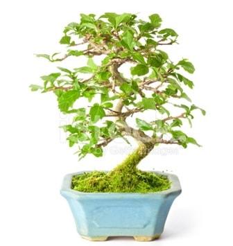 S zerkova bonsai kısa süreliğine  Muş İnternetten çiçek siparişi