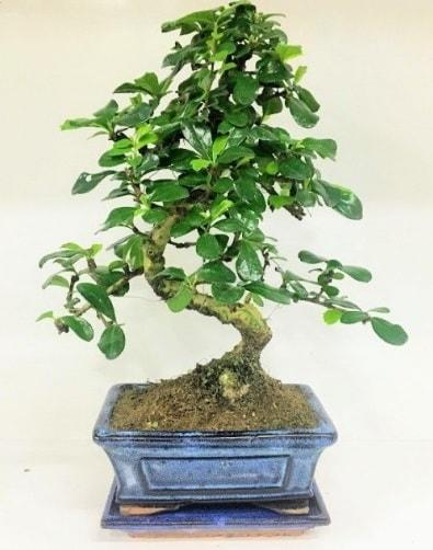 S Bonsai japon ağacı bitkisi  Muş uluslararası çiçek gönderme