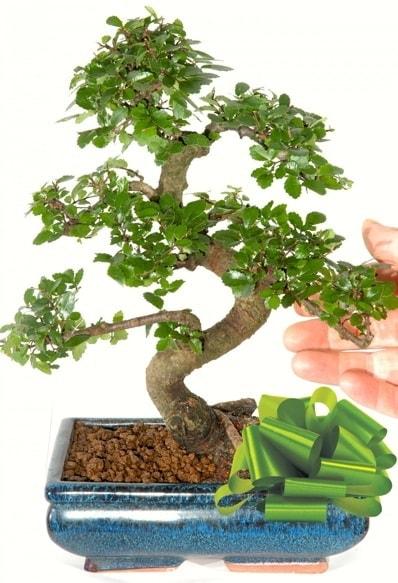 Yaklaşık 25 cm boyutlarında S bonsai  Muş çiçek siparişi sitesi