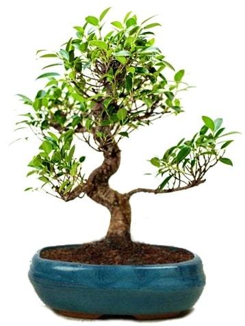25 cm ile 30 cm aralığında Ficus S bonsai  Muş çiçek gönderme sitemiz güvenlidir