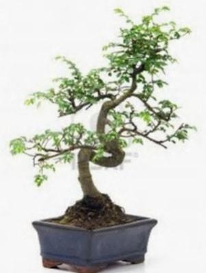 S gövde bonsai minyatür ağaç japon ağacı  Muş çiçek satışı