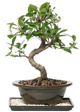 Altın kalite Ficus S bonsai  Muş çiçekçi telefonları  Süper Kalite