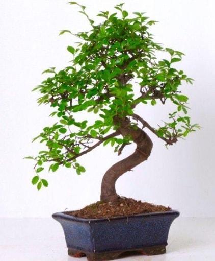 S gövdeli bonsai minyatür ağaç japon ağacı  Muş çiçek gönderme sitemiz güvenlidir