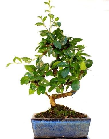 S gövdeli carmina bonsai ağacı  Muş çiçek yolla  Minyatür ağaç