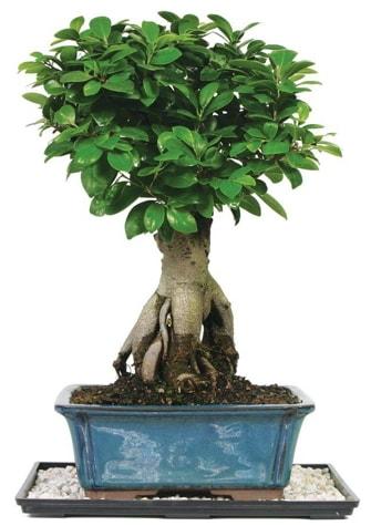 Bonsai Ginsing Grafted Ficus Bonsai  Muş çiçek yolla