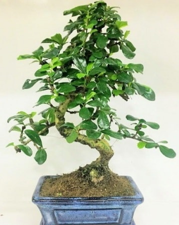 Zelkova S gövdeli Minyatür ağaç Bonzai  Muş çiçek gönderme
