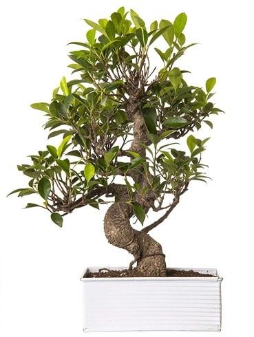 Exotic Green S Gövde 6 Year Ficus Bonsai  Muş çiçek gönderme sitemiz güvenlidir