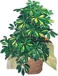 Muş internetten çiçek siparişi  Schefflera gold